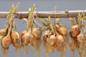 Garlic bulbs hanging out to dry before storage