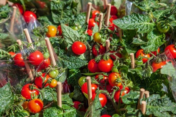 ripe and unripe tomatoes in wooden sticks.